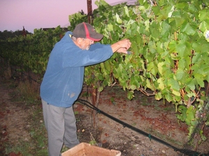 Emilio Checking out the Grapes at Harvest